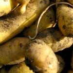 19 mars 1794 : Une grande provision de pommes de terre